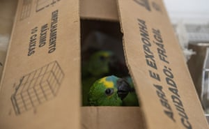 Parrot chicks recovered by highway police are seen inside a box in Jundiaí, Brazil