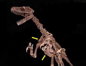 A bird-like dinosaur showing the furcula (upper arrow) and enlarged sternum (lower arrow) also seen in modern birds