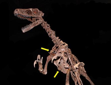 A bird-like dinosaur showing the furcula (upper arrow) and enlarged sternum (lower arrow) also seen in modern birds