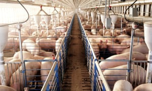 Pigs are seen in a factory farm in northern Missouri. The pigs are never let out from their confined spaces until they are taken to slaughter.