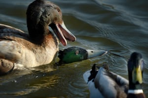 The young mallard, centre, eventually escaped after the large drake, left, of another species, tried to drown him at Milton Keynes, England