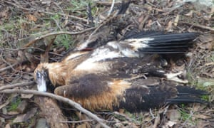 The remains of a wedge-tailed eagle found in Yea in central Victoria.