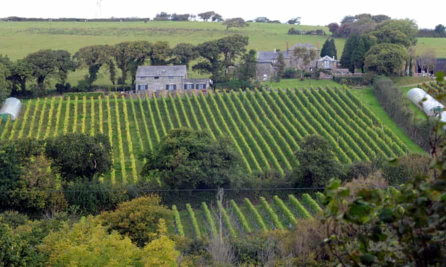 A view of the Camel Valley vineyard in Nanstallon near Bodmin, Cornwall.