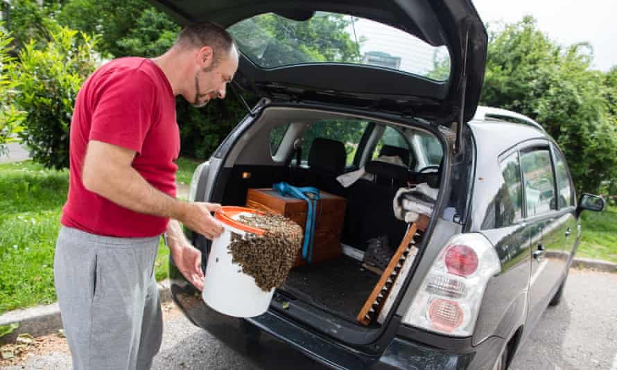 Gorazd Trušnovec puts a recaptured swarm of bees into his car.