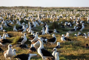 World's largest albatross colony at Midway Atoll.