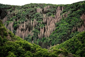 A forest damaged by drought and bark beetles in the Ahrtal of Altenahr near Ahrweiler, Germany.