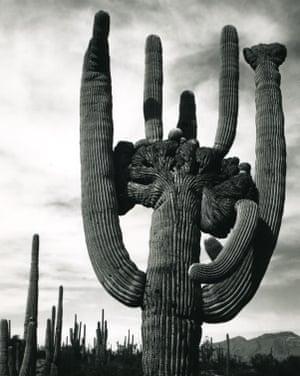 An enormous American cactus.