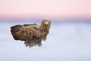 White-tailed Eagle, Hortobagy, Hungary