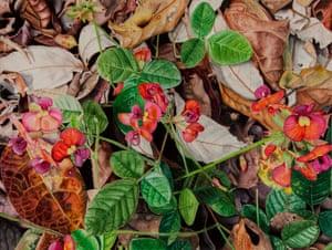 Flame Pea by Lynda McPherson watercolour