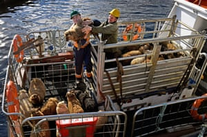 Residents take sheep off Foula bound for the market