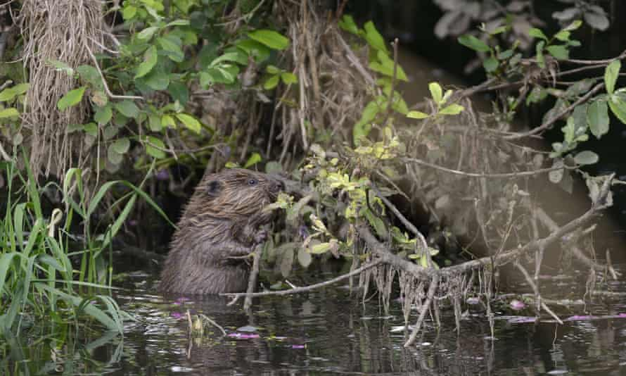 A young beaver, known as a kit, on the River Otter. Their reintroduction has had positive results.