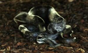 A snake eats a squirrel at Augusta National Golf Club Georgia.