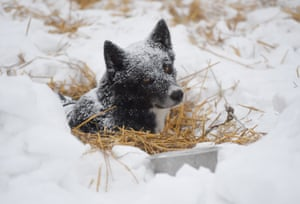 A dog rests in a straw bed on snow