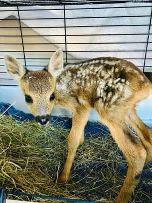 A female roe deer fawn that was rescued by fire crews tackling a blaze in Hatfield Moors, UK