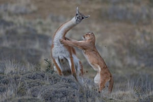 Mammals behaviour joint winner: The Equal Match by Ingo Arndt, Germany (picture taken in Patagonia, Chile)