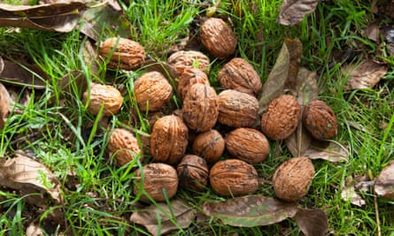 Harvested walnuts on the ground