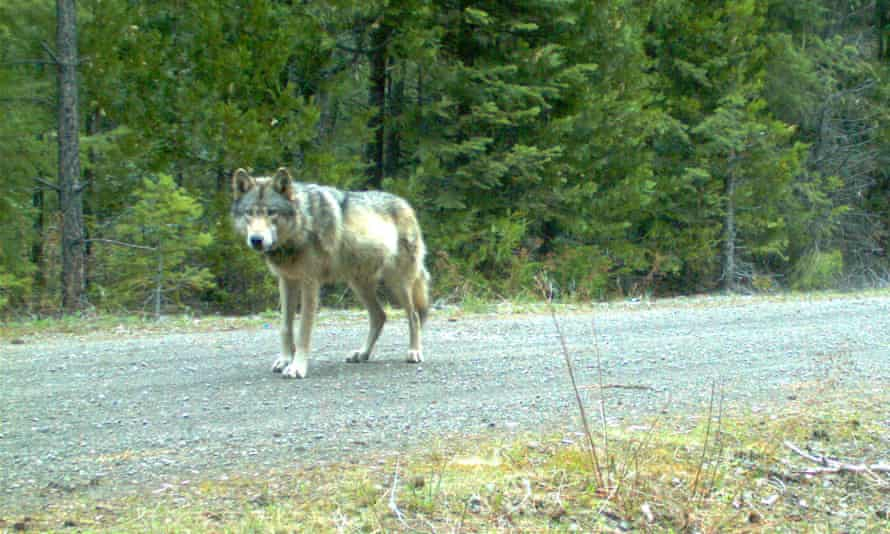 A remote camera captured a photo of OR-7 in eastern Jackson county, Oregon.
