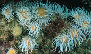 White Striped Anemones in Utopia, off the south-east coast of England, one of the new MCZs,
