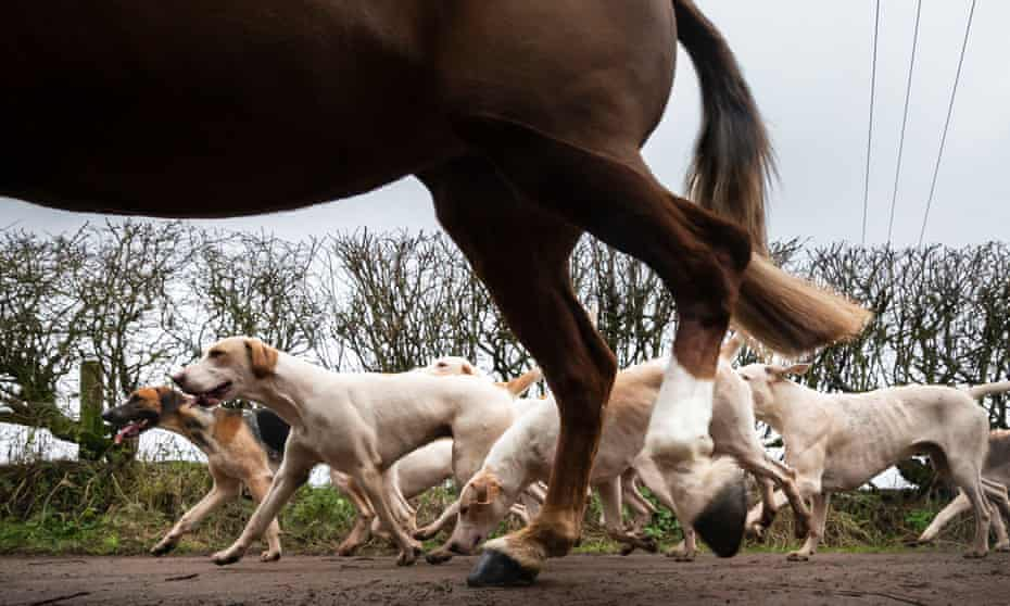 A horse running with hounds.
