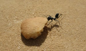 When unable to lift the food in their mandibles, researchers have discovered that the ants drag the food backwards, moving all six legs independently.