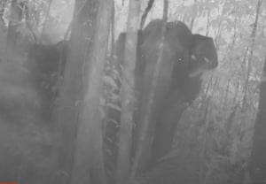 Rare camera trap footage of an elephant herd roaming through Cambodia's biggest forest sanctuary