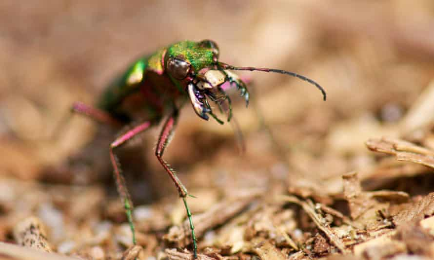 A Green Tiger Beetle in Dorset, England