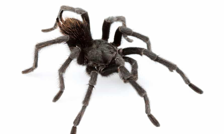 The tarantula named after country music star Johnny Cash