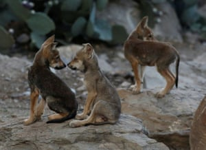 Mexican grey wolf cubs, an endangered native species, in their enclosure at the Desert Museum in Saltillo, Mexico