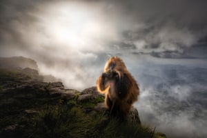 Highly commended, mammals: Gelada after the storm