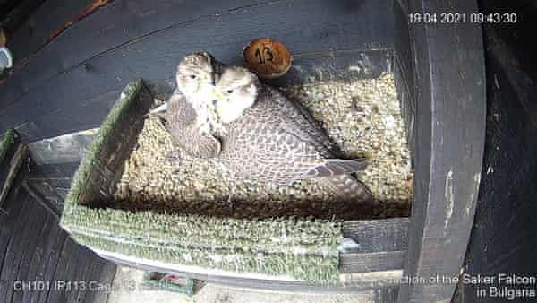 A breeding pair of saker falcons.