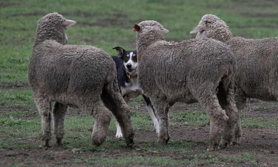 a dog and some sheep