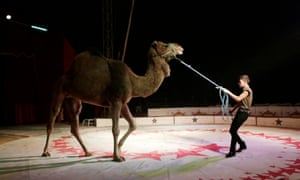 A trainer moves a dromedary during a show at the Cedeno Hermanos Circus in Mexico City.