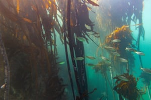 A school of blue-striped grunt fish swim in a kelp forest off Cape Town, South Africa. Kelp forests influence the water around them by calming the waves, slowing currents and allowing it to be warmed by the sun, creating a unique marine environment