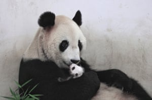 A mother panda holds her cub at a wildlife park in Shanghai, China