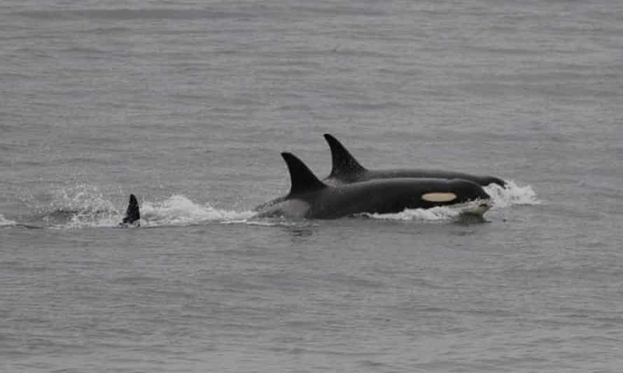 The orca, known as J35, foreground, has returned to fishing with her pod