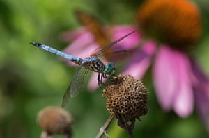 Blue dasher dragonfly perched on spent bee balm flower, Mount Joy, Pennsylvania, US