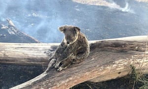 A koala and her joey rescued from the fires in the Gold Coast hinterland