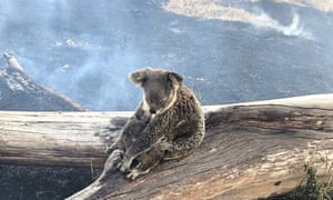 Image result for koala affected by fires""