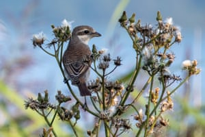 A red-backed shrike (Lanius collurio) in a shrub in Lauterbach, Mecklenburg-Western Pomerania, Germany