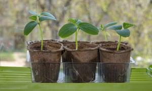Seedlings of cucumbers in peat pots.