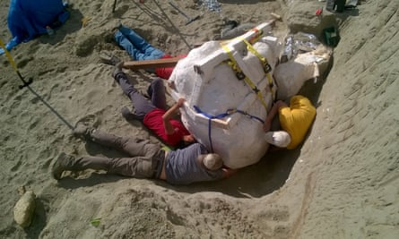A new Tyrannosaurus rex skull discovered in Montana and excavated by the Burke Museum of Seattle