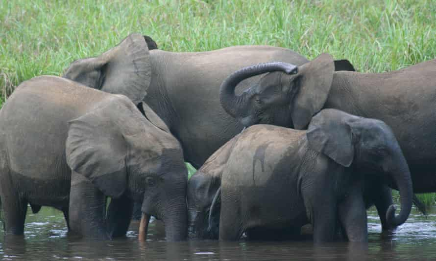 Forest elephants in Gabon