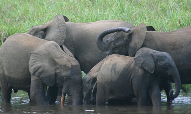 Africa's forest elephant has been largely overlooked. Now we need to fight for it