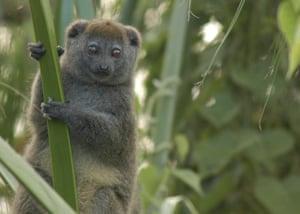 A Lake Alaotra gentle lemur