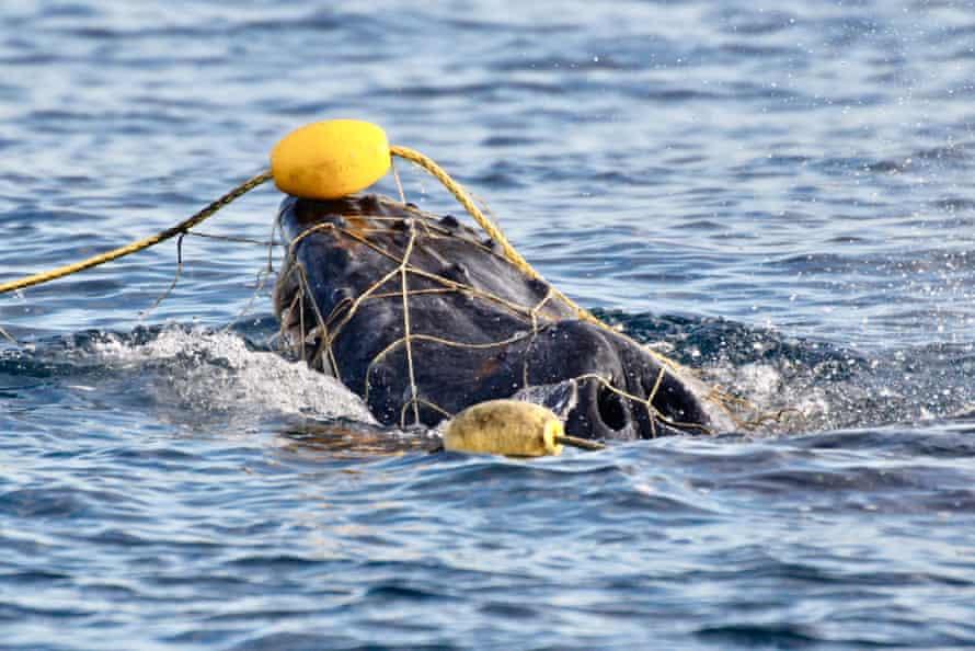 Baby humpback whale entangled