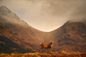 Scottish red deer graze in Glen Etive, Scotland