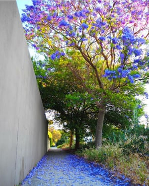 A jacaranda bloom above a walkway in Mount Lawley, Perth