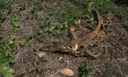 Dead goanna and cane toad.