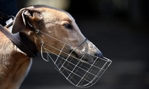 RAcing greyhound at Wentworth park