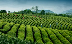 A succession Of large green waves at a tea plantation in Jinlu village in China's Zhejiang province. Harvest time